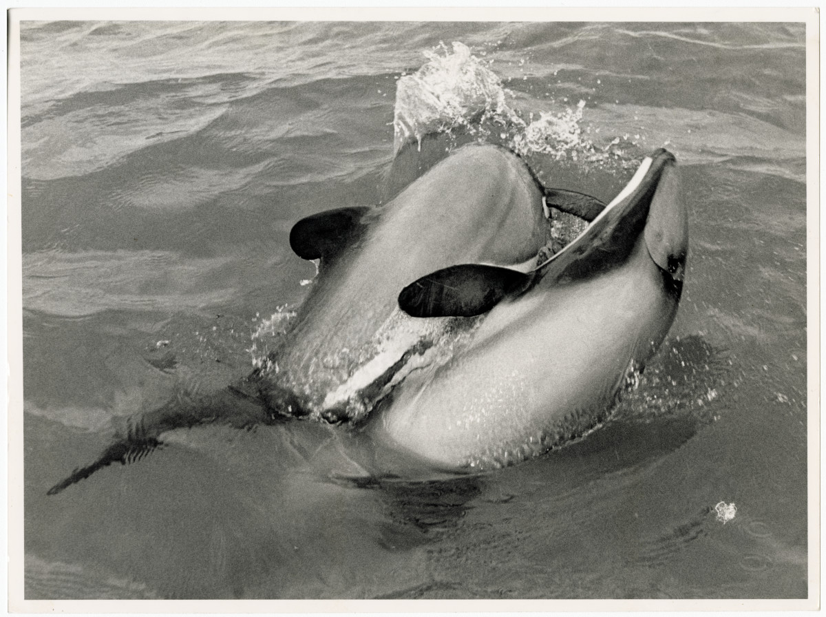 Hector's dolphins at Kaikoura